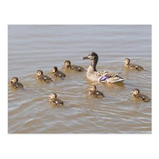 Mallard and Ducklings Postcard