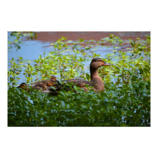 Mallard and Ducklings-Swimming by Shirley Taylor Poster