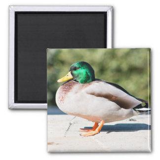 Mallard Drake 2 Inch Square Magnet