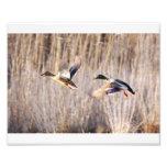 Mallard Drake and Hen Print Photograph