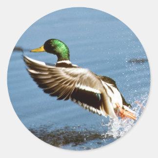 Mallard Drake Duck Classic Round Sticker