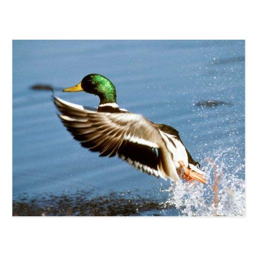 Mallard Drake Duck Post Card