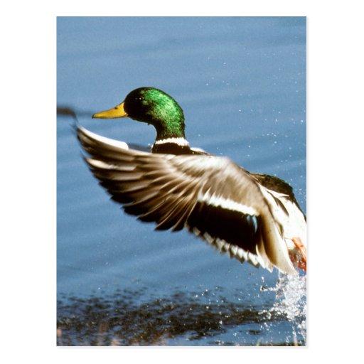 Mallard Drake Duck Postcards