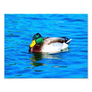 Mallard Duck - #1 Photo Print