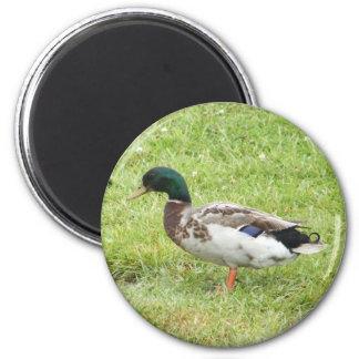 Mallard duck 2 inch round magnet