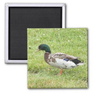 Mallard duck 2 inch square magnet
