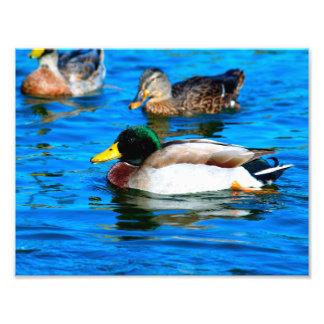 Mallard Duck - #2 Photo Print