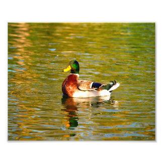 Mallard Duck - #3 Photo Print