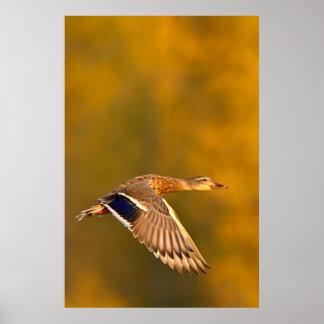 Mallard Duck (Anas Platyrhynchos) In Autumn Poster