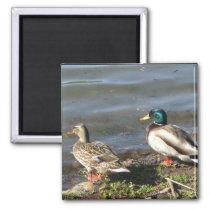 Mallard duck couple magnet