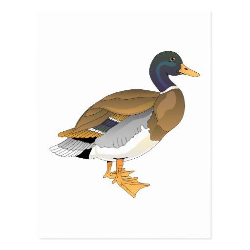 Mallard Duck (Drake) Postcard
