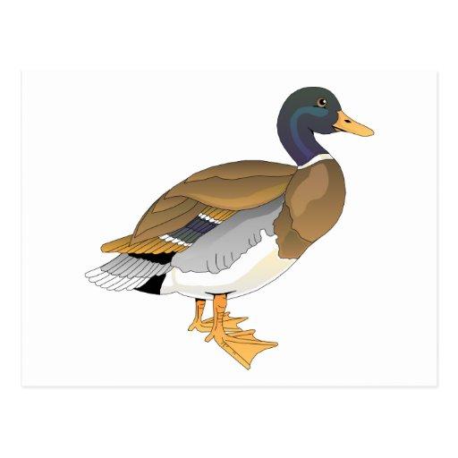 Mallard Duck (Drake) Post Card