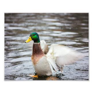 Mallard Duck Drying His Wings - Photo Print