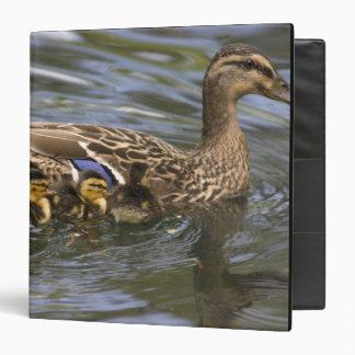 Mallard Duck female and chicksAnas Binder