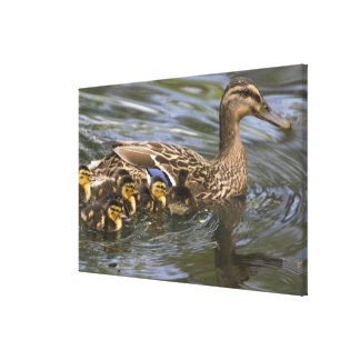 Mallard Duck female and chicksAnas Gallery Wrap Canvas