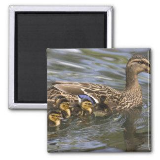 Mallard Duck female and chicksAnas Magnet