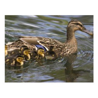 Mallard Duck female and chicksAnas Postcard