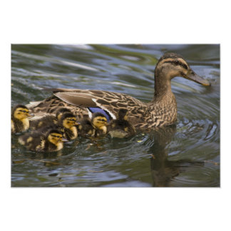 Mallard Duck female and chicksAnas Poster