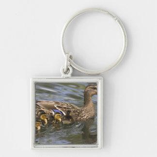 Mallard Duck female and chicksAnas Silver-Colored Square Keychain