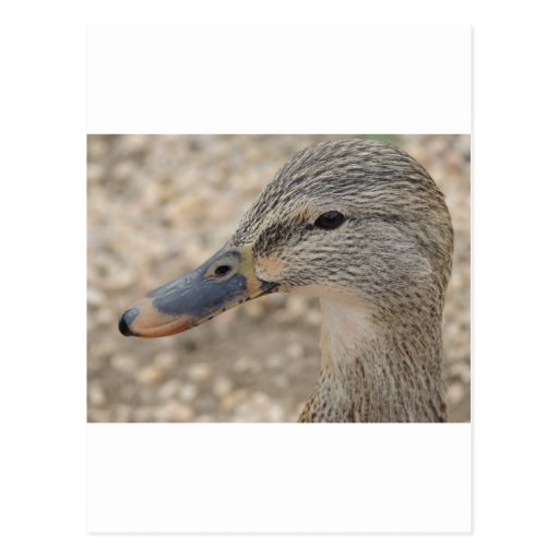 Mallard Duck Female Postcards