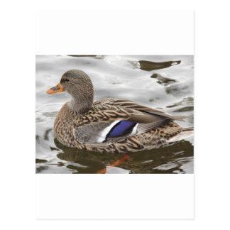 Mallard Duck Female Postcard