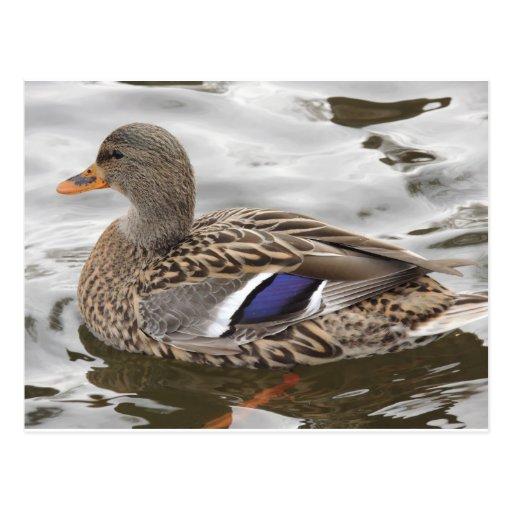 Mallard Duck Female Post Cards