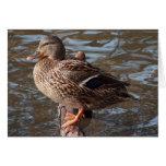Mallard Duck Greeting Cards