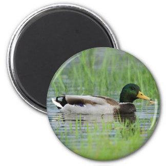 Mallard duck in a pond 2 inch round magnet