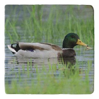 Mallard duck in a pond trivet