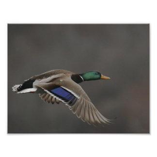 Mallard Duck in Flight - 2 Photo Print