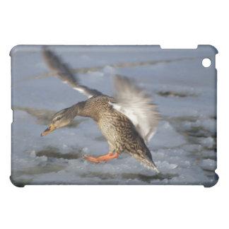 Mallard Duck Incoming iPad Cases
