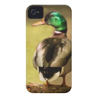 Mallard Duck iPhone 4 Cases