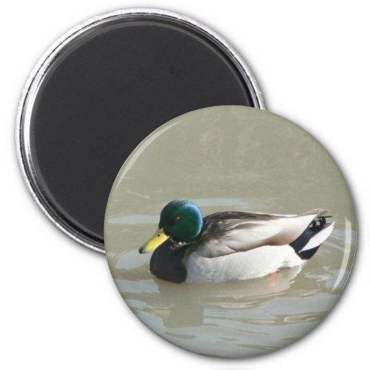 """""""Mallard Duck"""" Magnet"""