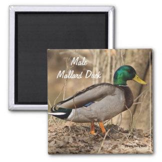 Mallard Duck - Male 2 Inch Square Magnet
