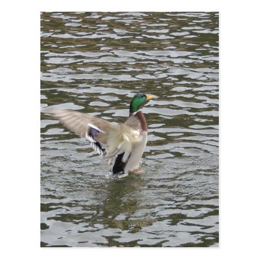 Mallard Duck Male Postcard