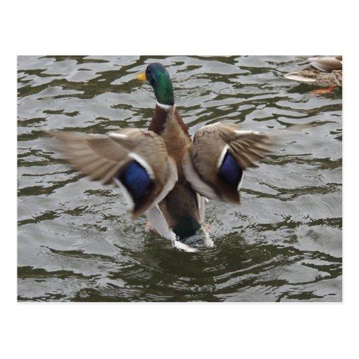 Mallard Duck Male Post Card