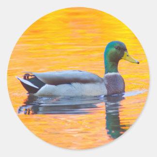 Mallard duck on orange lake, Canada Classic Round Sticker