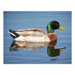 Mallard Duck on Water Announcement