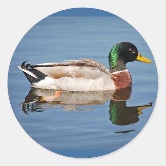 Mallard Duck on Water Classic Round Sticker