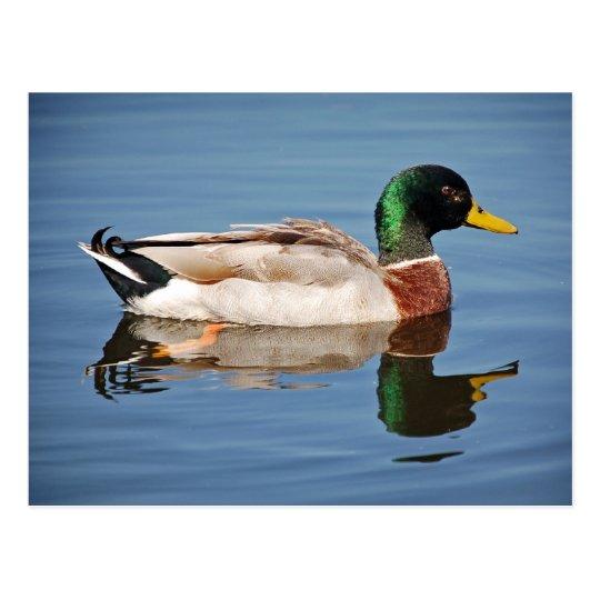 Mallard Duck on Water Postcard