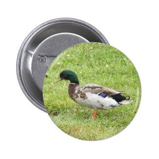 Mallard duck pinback button