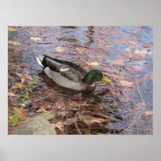 Mallard Duck - Poster
