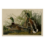 Mallard Duck Posters