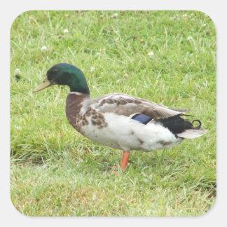 Mallard duck square stickers
