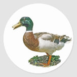 Mallard Duck Sticker