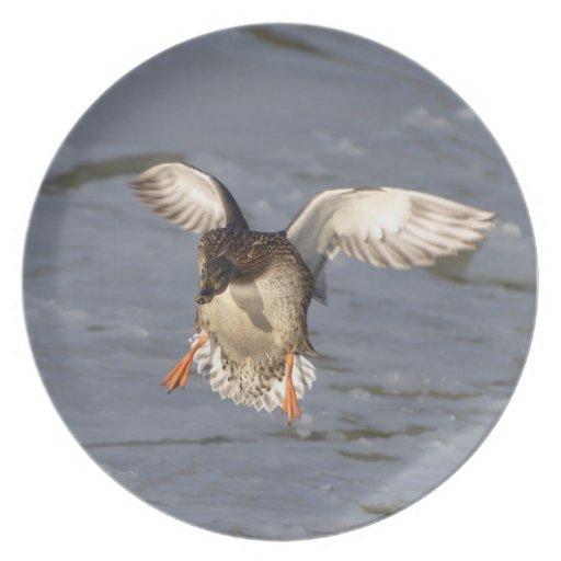 Mallard Duck Wildlife River Bird Plate