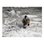 Mallard Duckling IV Postcard
