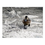Mallard Duckling IV Postcards