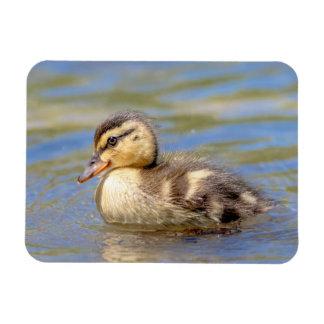 Mallard Duckling Magnet