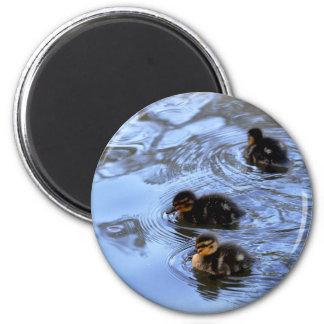 Mallard Ducklings 2 Inch Round Magnet